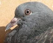 Wild dove — Stock Photo