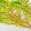 Ivy branch on a white plastered wall — Stock Photo