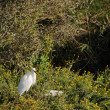 Little egret standing in brambles — Stock Photo