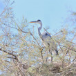 Grey heron on a tamarisk branch — Stock Photo
