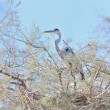 Grey heron on a tamarisk branch — Stock Photo #8463619