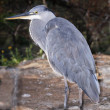 Grey heron standing on the ground below a tamarisk tree — Stock Photo
