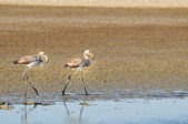 Two juvenile greater flamingos walking — Stock Photo