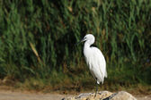 Little egret standing on a rock — 图库照片