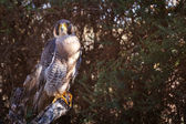 Peregrine Falcon perched on a branch — Stock Photo