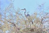 Grey heron on a tamarisk branch — Stock Photo
