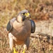 Peregrine Falcon after eating a chick - 图库照片
