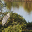 Grey heron on a low tamarisk branch - Stock Photo