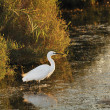 Little egret walking in shallow water - Lizenzfreies Foto