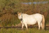 Pé de cavalo de camargue em uma lagoa — Foto Stock