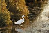 Little egret walking in shallow water — Stock Photo