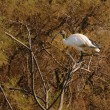 African Sacred Ibis on a tamarisk branch — Stock Photo
