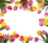 Tulip Frame — Stock Photo