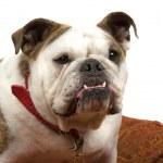 Friendly Bulldog — Stock Photo