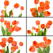 Tulip Collage — Stock Photo