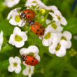 Three lady bugs on white flower — Stock Photo