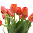 Stock Photo: Tulip flower