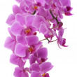 Orchid — Stock Photo #9742214