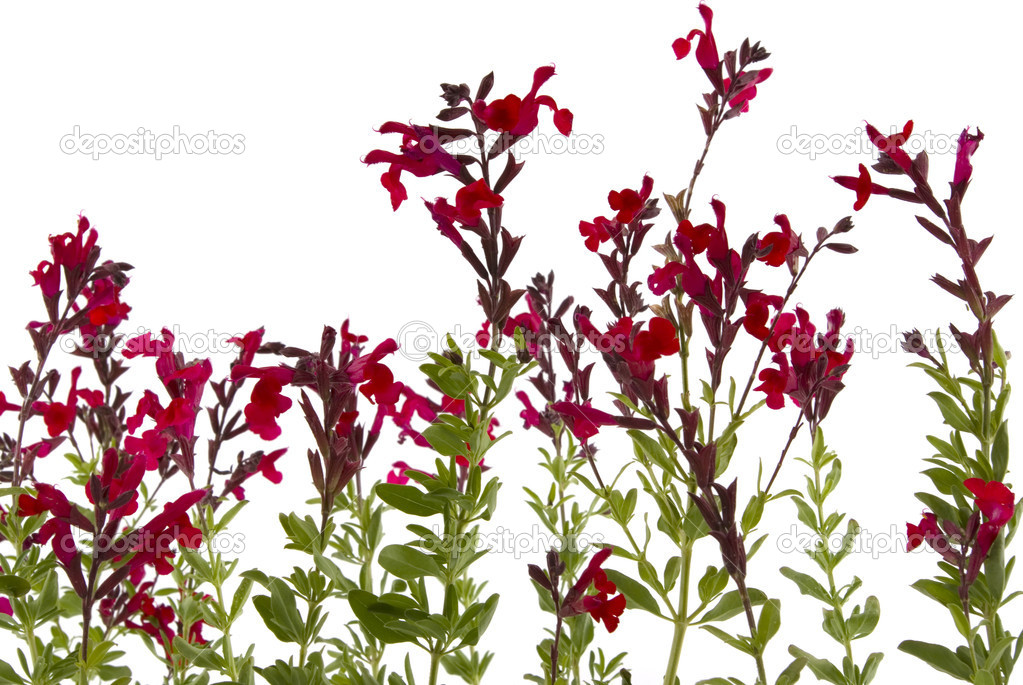 Wild flowers isolated on white background  Stock Photo #9742221