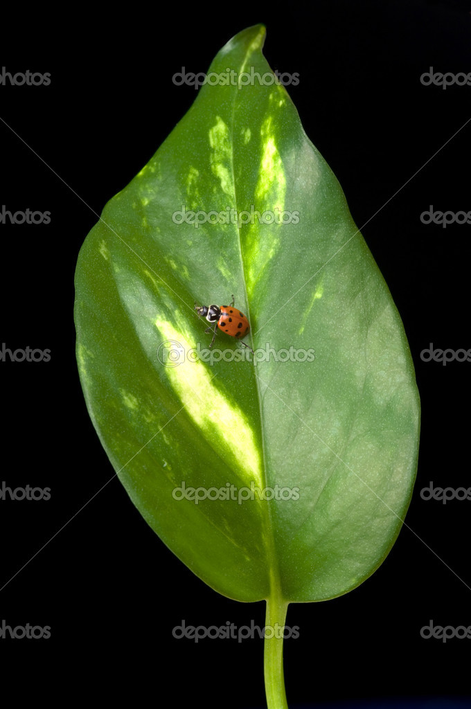 Ladybird on leaf — Stock Photo #9742228