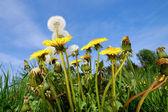 Dandelion flowers in nature — Stock Photo