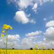 Yellow rape flower and clouds — Stock Photo
