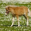 Young horse foal on flower field — Stock Photo