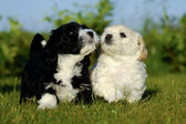 Black and white puppy dogs — Stock Photo