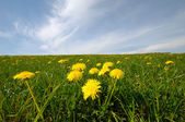 Dandelions and blue sky — Stock Photo