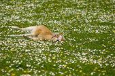 Horse foal resting on flower field — Stock Photo