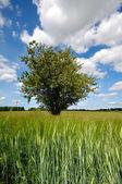 Tree in corn field — Stock Photo