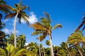 Foresta di palme — Foto Stock