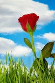 Nuvole e la rosa rossa — Foto Stock