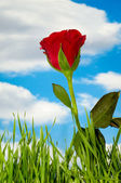červená růže a mraky — Stock fotografie