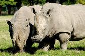 Dos rinocerontes — Foto de Stock