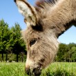 Stock Photo: Donkey eating grass