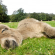 Sleeping donkey — Stock Photo