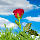 Red rose and clouds — Stock Photo