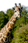 Giraff — Stock Photo