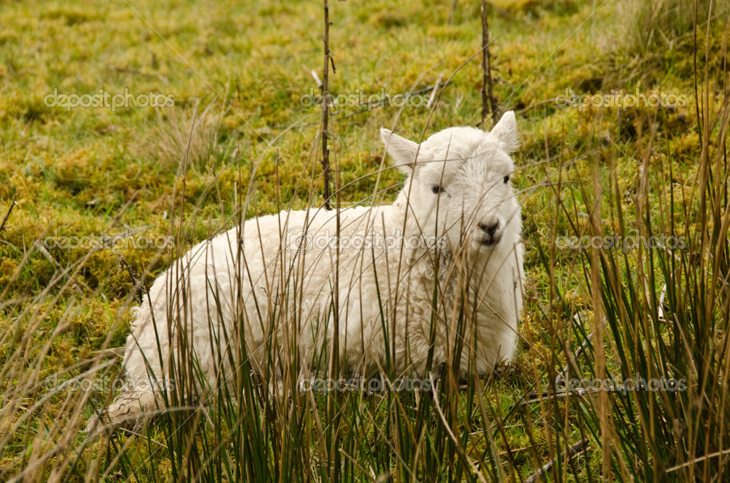 Lamb tries to hide behind some reeds — Stock Photo #10576389