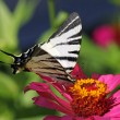 Butterfly (Scarce Swallowtail) — Stock Photo #8878461