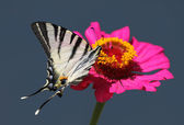 Butterfly (Scarce Swallowtail) — Stock Photo