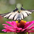 Butterfly (Scarce Swallowtail) — Stock Photo #9614368