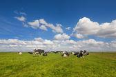 Cattle Dutch cows — Stock Photo