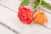 Red and yellow double tulips — Stock Photo