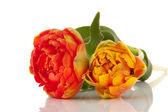Dvojité tulipány — Stock fotografie