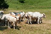 Bovini charolais bianco nel paesaggio — Foto Stock