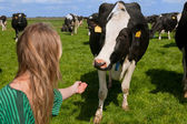 Ragazza con mucche olandesi — Foto Stock