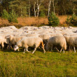 Sheep herd in Holland - Zdjęcie stockowe