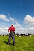 農夫および牛を持つ典型的なオランダの風景 — ストック写真